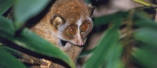primates lordis