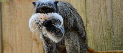 primates monos nuevo mundo