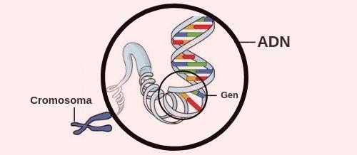 ADN, cromosoma y gen