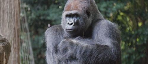 primates simios