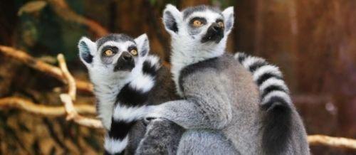 primates lemur