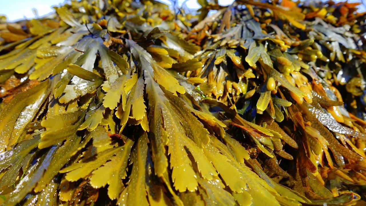 Algas pardas.Reino protista