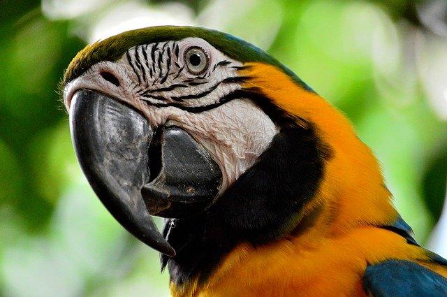 ave papagayo