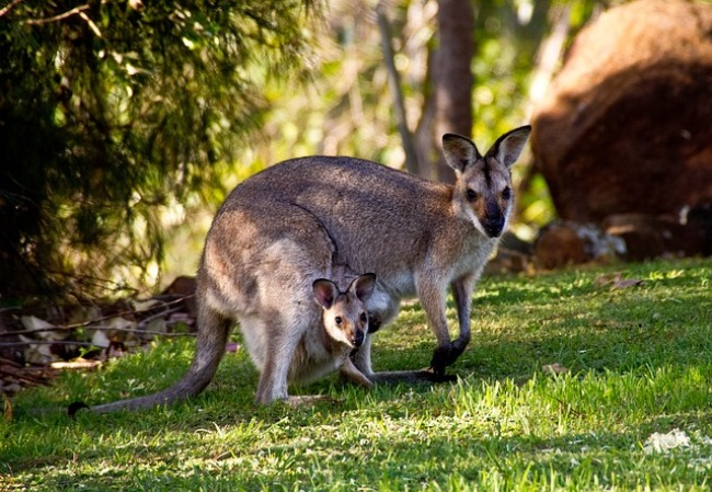 Animales vivíparos marsupiales