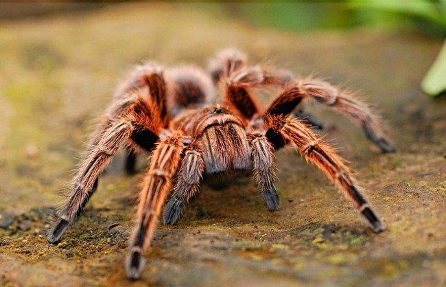 Animales invertebrados, tarántula
