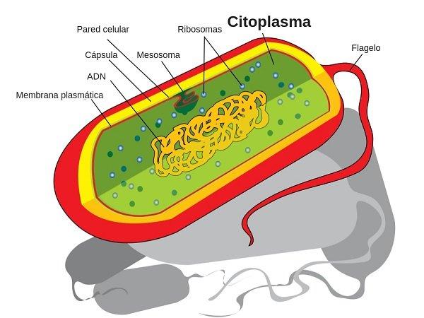 Función del citoplasma