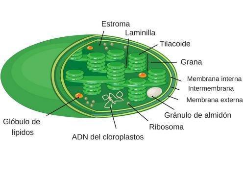 Significado De Cloroplastos Qué Son Concepto Y Definición