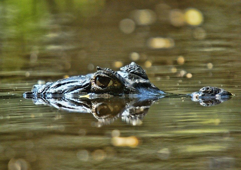 crocod-orinoc