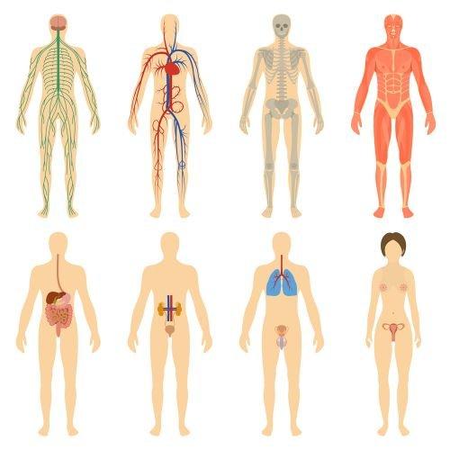 Significado de Cuerpo humano - Qué es, Concepto y Definición