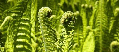 Esporas plantae