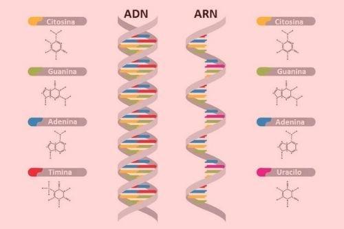 Significado De Adn Y Arn Qué Son Concepto Y Definición