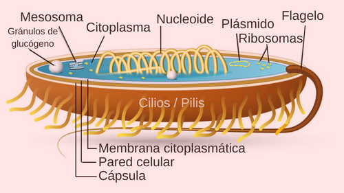 estructura célula procariota