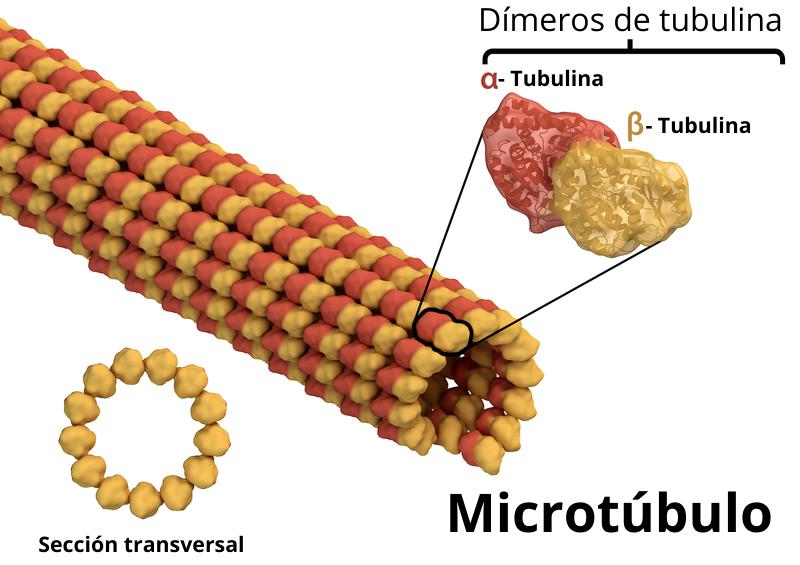 estructura microtubulos