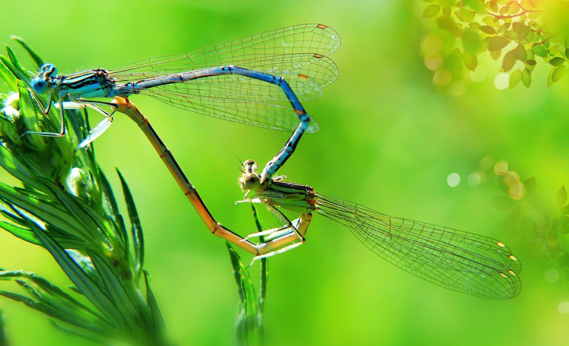 libélula, reproducción