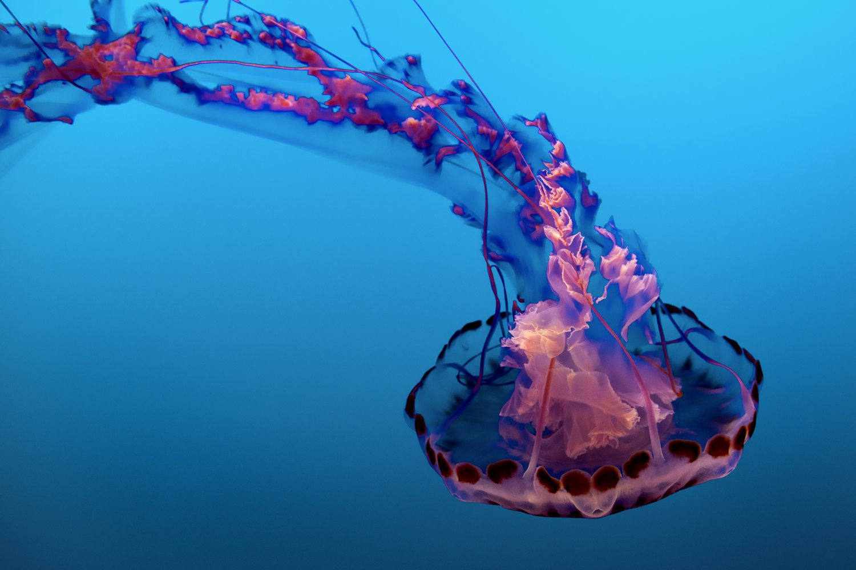 Animales acuáticos, medusa