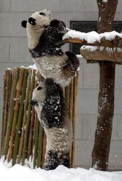 panda altruista