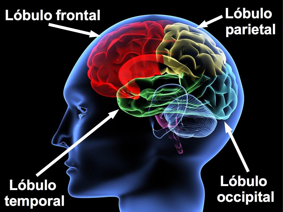 Partes del cerebro lóbulos