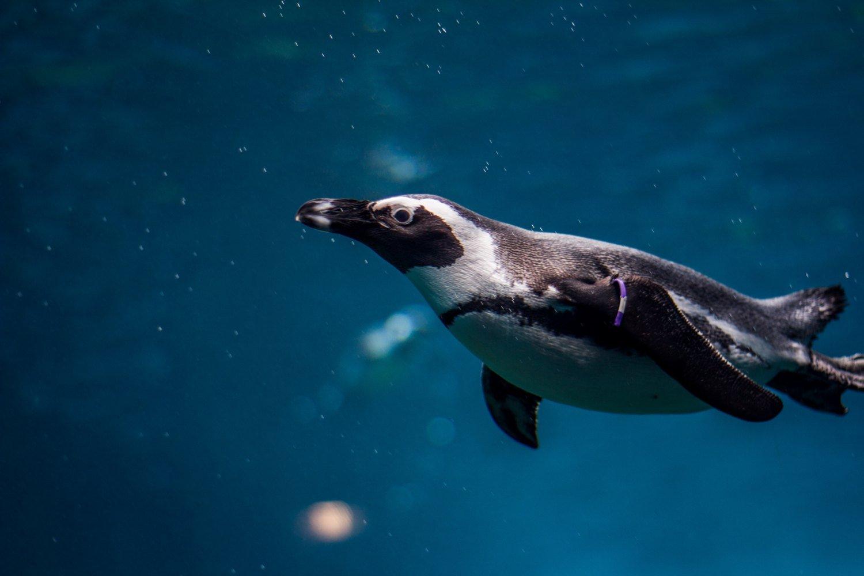 Animales acuáticos, pinguino