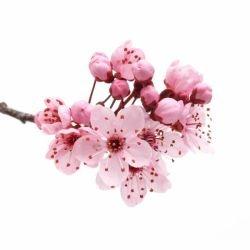 Significado De Flor De Cerezo Qué Es Concepto Y Definición