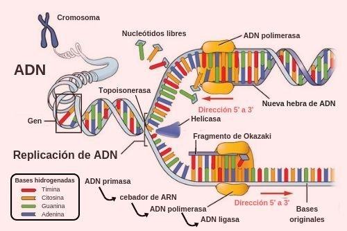 Replicación ADN