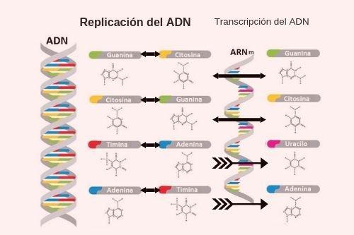 Estructura, replicación y transcripción ADN