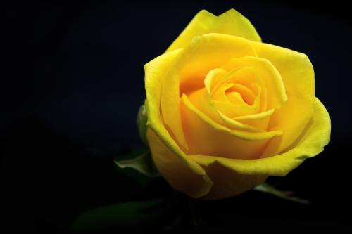 Rosas El Significado De Cada Color Significados