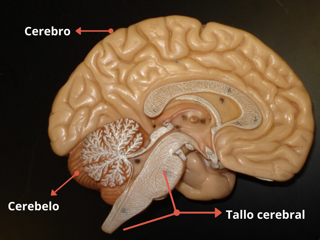 Sistema Nervioso Central Qué Es Funciones Y Partes Significados
