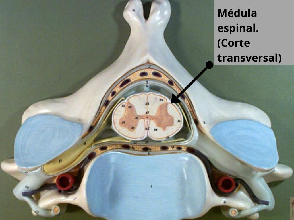 Sistema nervioso central. Médula espinal