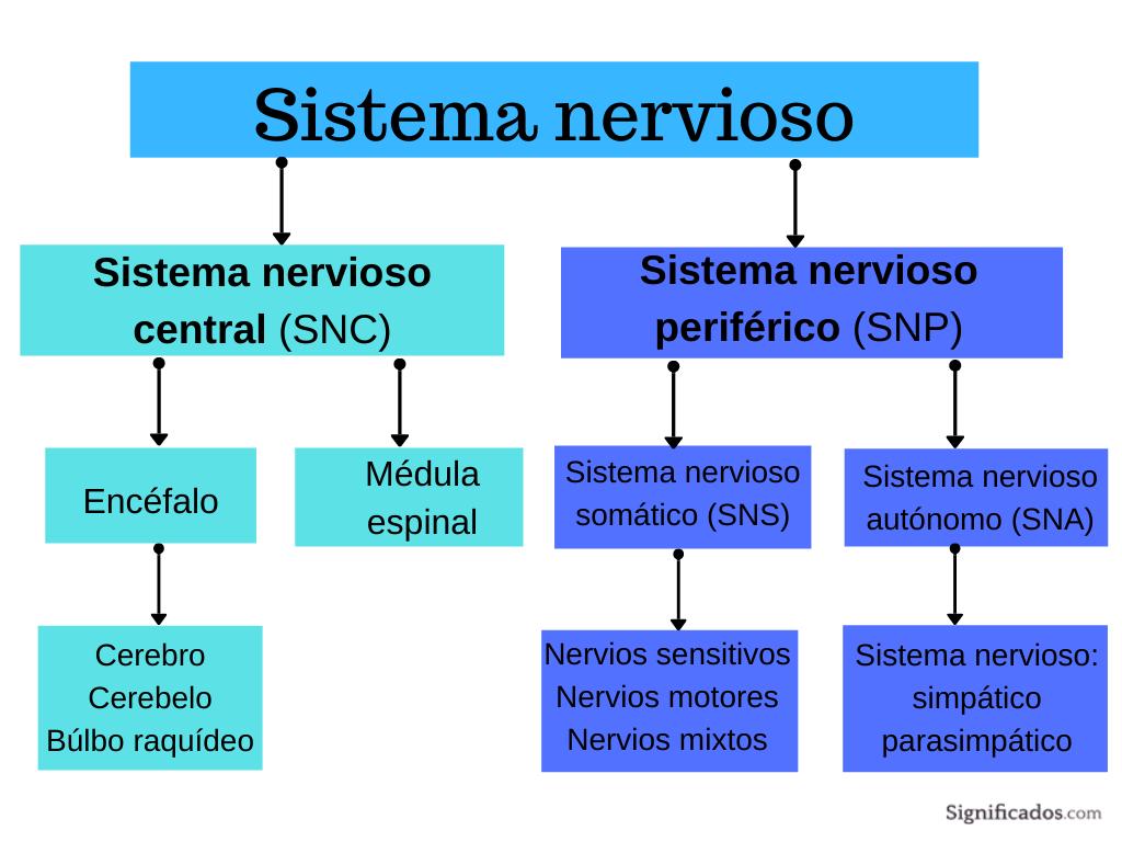 Sistema nervioso-mapa conceptual