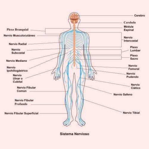 sistema nervioso significados