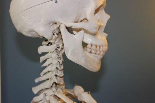 Esqueleto, parte superior