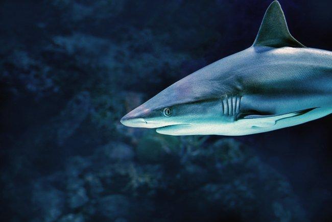 vertebrados condrictios, tiburón